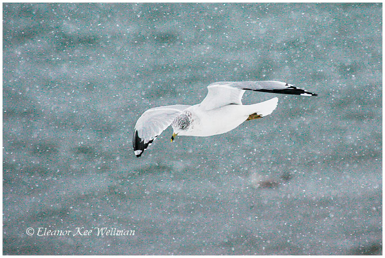 Ring-billed Gull, adult, non-breeding plumage, snowing.