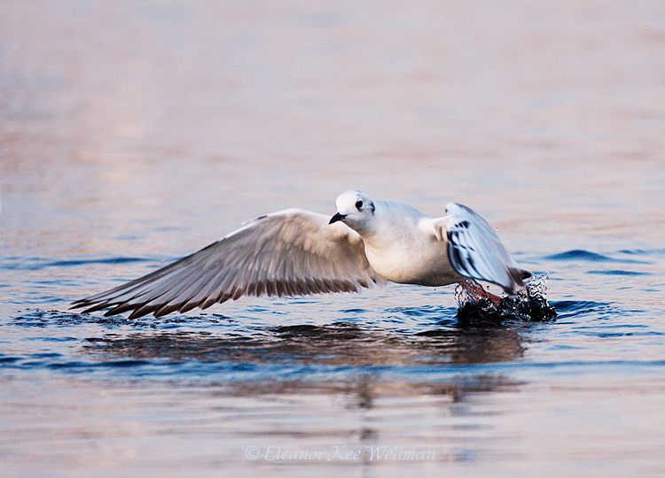 Bonaparte's Gull, first winter plumage, taking off.