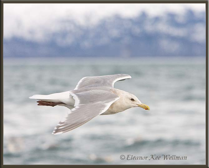Glaucous-winged Gull, Winter Adult, Alaska