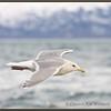 Glaucous-winged Gull, Winter Adult, Alaska