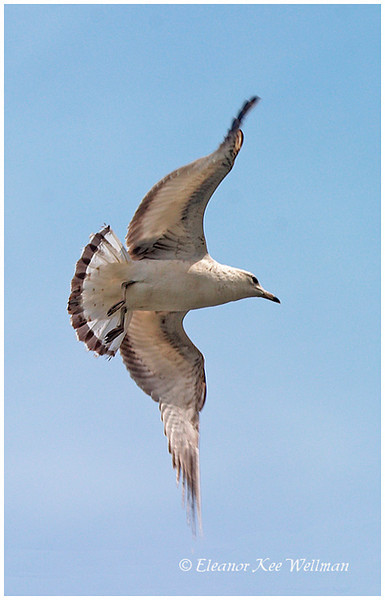 Ring-billed Gull, first winter plumage.