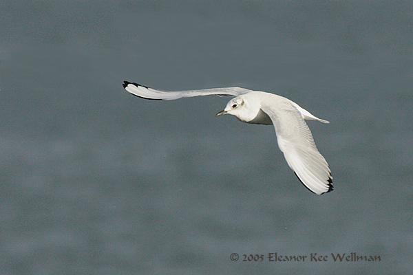 Bonaparte's Gull, non-breeding plumage.