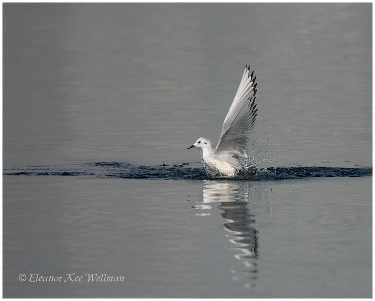 Bonaparte's Gull, non-breeding plumage, taking off.