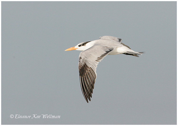Royal Tern, juvenile plumage.  Florida, December.