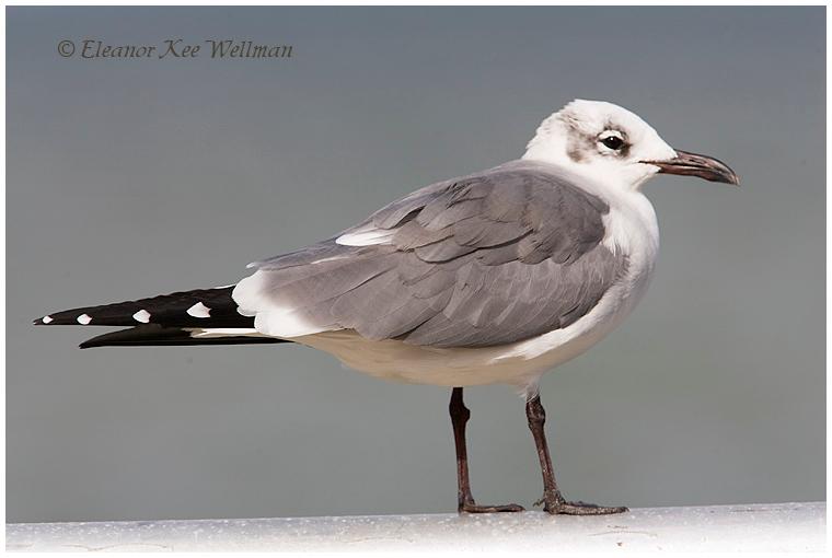 Laughing Gull, adult, non-breeding plumage, Florida, December.