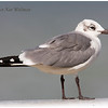 Laughing Gull, adult, non-breeding plumage, Florida, December.