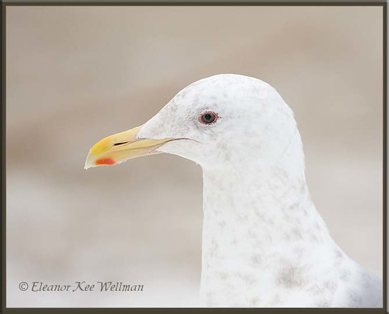Glaucous-winged Gull, Winter Adult