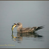 Herring Gull, first winter plumage, with perch.
