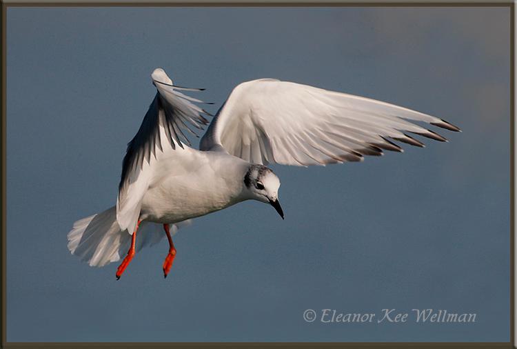 Boneparte's Gull Hunting<br /> Spring, Lake Erie, ON