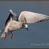 Boneparte's Gull Hunting<br /> Spring, Lake Erie, ON