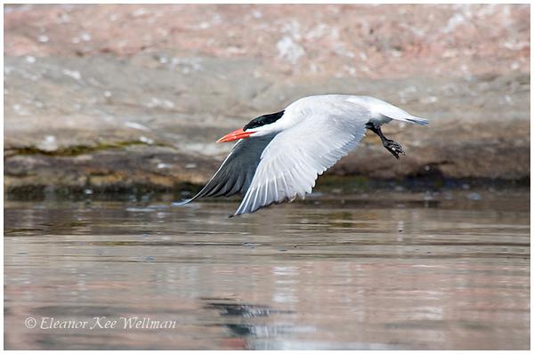 Caspian Tern, adult, breeding plumage.  Sparrow Lake, ON.