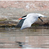 Caspian Tern, adult, breeding plumage.  Sparrow Lake, ON.