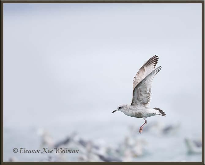 Mew Gull, Larus canus brachyrhynchus, Alaska.  First Winter.
