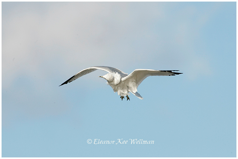 Ring-billed Gull, adult, non-breeding plumage, shaking off water.