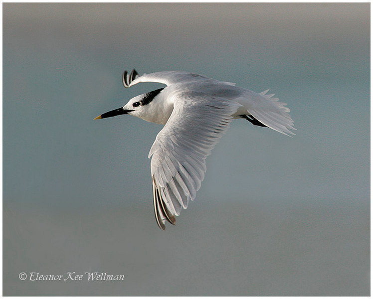 Sandwich Tern, adult, non-breeding plumage.