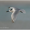 Sandwich Tern, adult, non-breeding plumage.