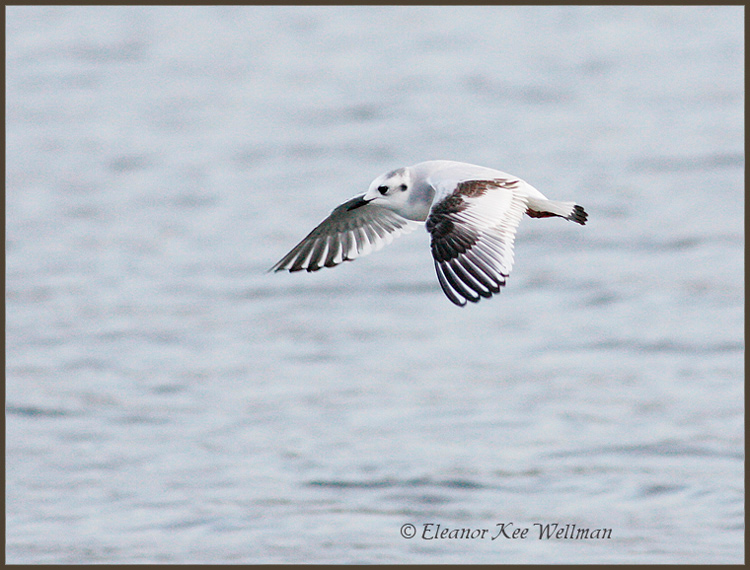 Little Gull, first winter plumage.