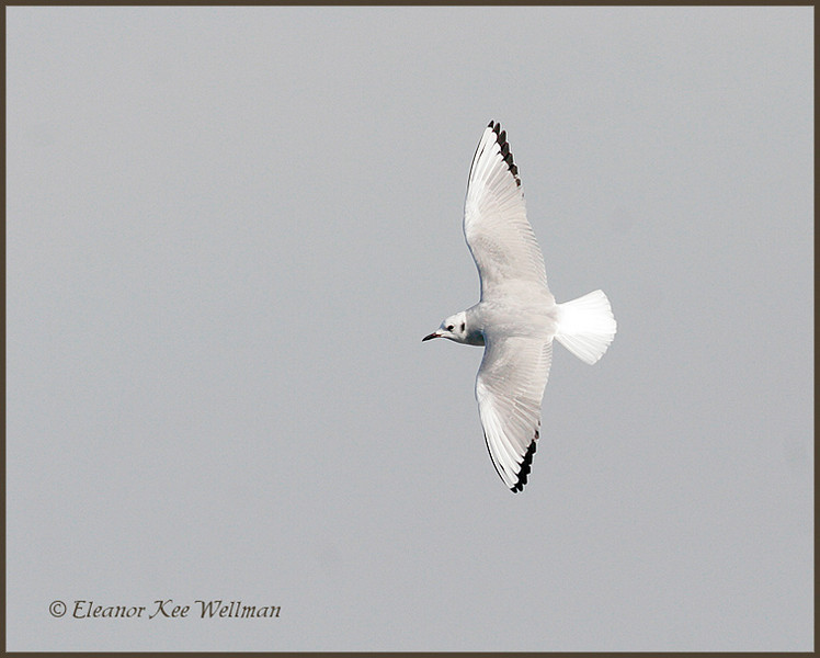 Boneparte's Gull, non-breeding plumage.