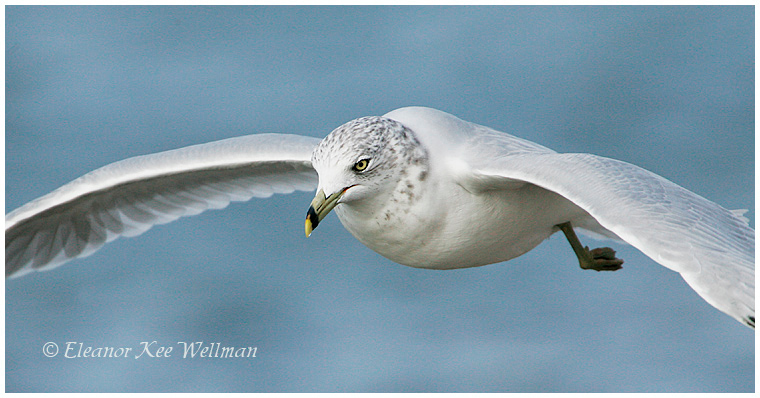 Ring-billed Gull, adult, non-breeding plumage, flying close pano.