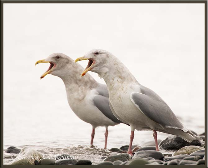 Glaucous-winged Gulls, Non-breeding Adults, Alaska.
