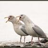 Glaucous-winged Gulls, Non-breeding Adults, Alaska.
