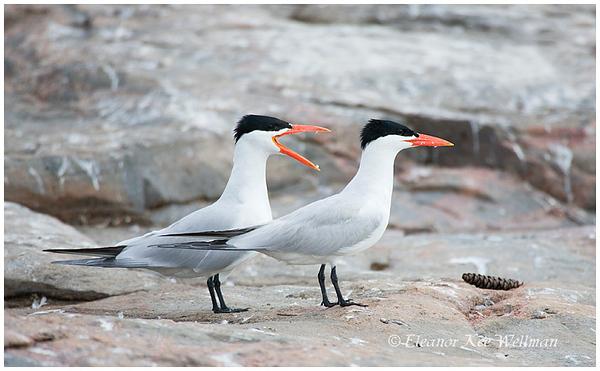 Caspian Terns, adults, breeding plumage.  Sparrow Lake, Ontario.