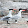 Caspian Terns, adults, breeding plumage.  Sparrow Lake, Ontario.