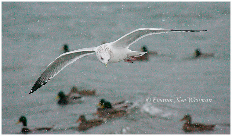 Ring-billed Gull, adult, non-breeding plumage, flying above Mallards.