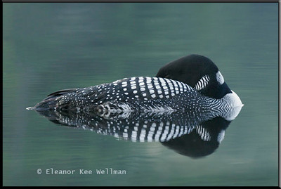 Loons Sleeping in Green Water