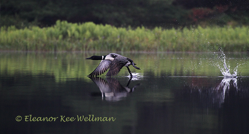 Loon Taking Off - Wings Down