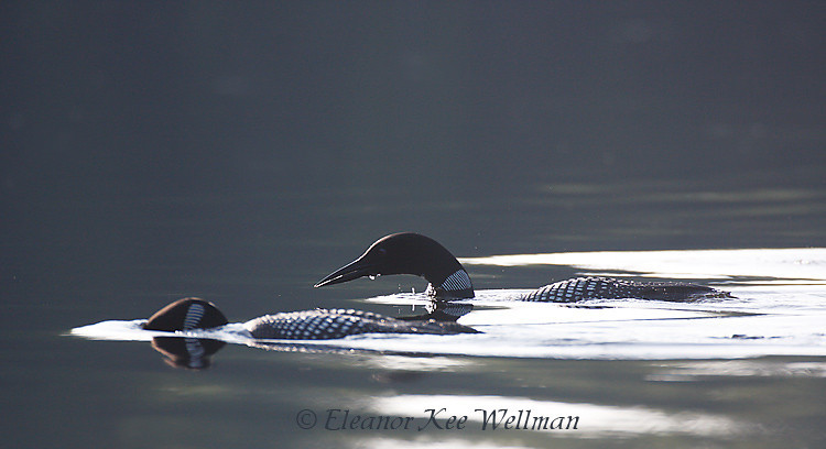 Common Loons - Diving for Dinner