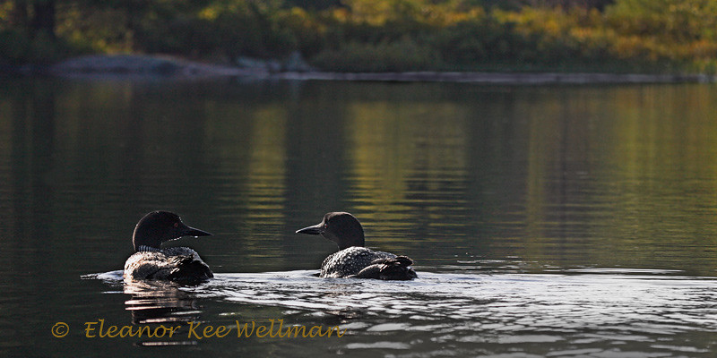 Loon Pair on Summer Morning