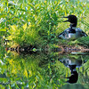 Loon Nesting in Green Horizontal