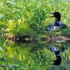 Loon Nesting in Green Horizontal