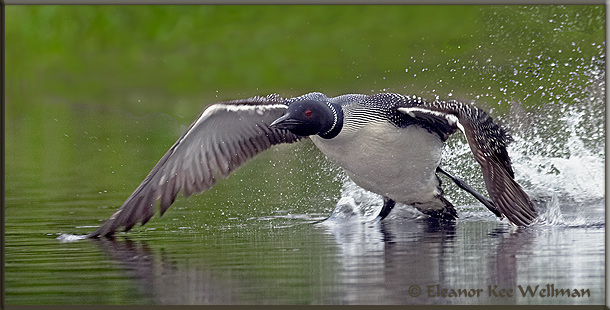 Loon Take-off #2