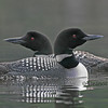 Loon Pair Together