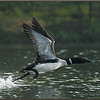Loon Take-off #1