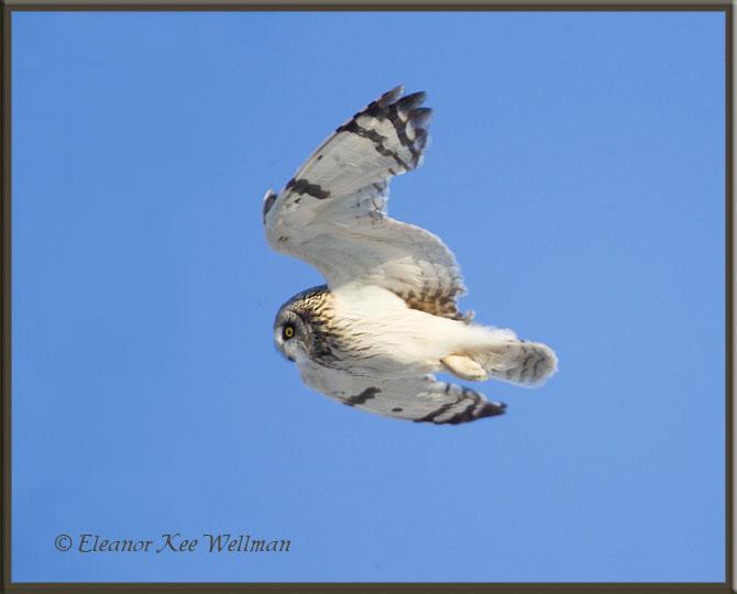 Short-eared Owl Flight