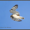Short-eared Owl Flight