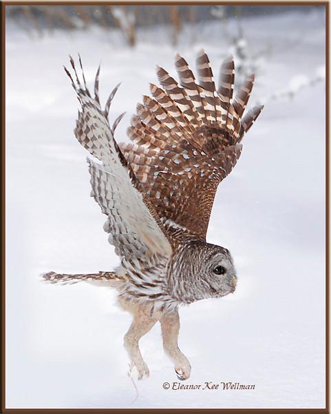 Barred owl Take Off #3