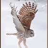 Barred owl Take Off #3