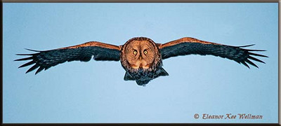 Great Gray Owl Flying in Evening Light
