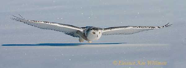 Snowy Owl Low Fly-By