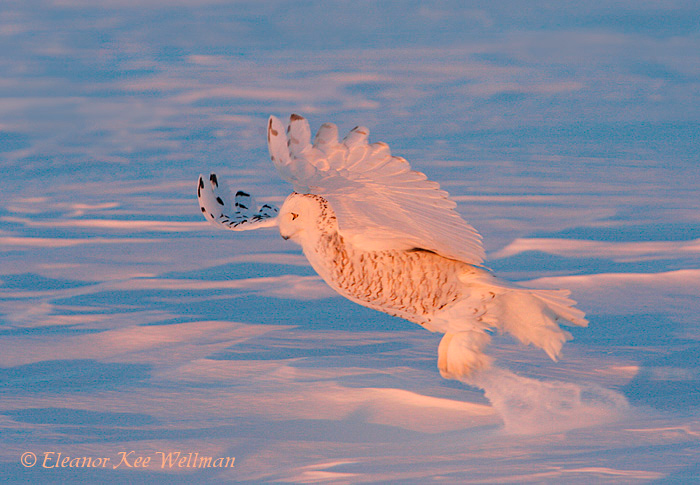 Snowy Owl Catch in Late Pink Light