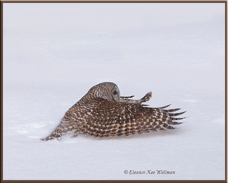 Barred Owl Taking Off From Snow #2