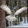 Barred Owl Flying Down