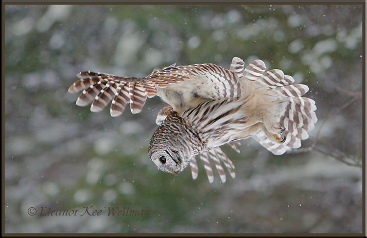 Barred Owl Flying Down #2