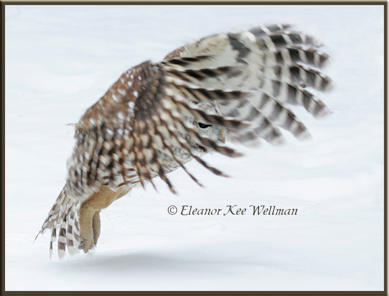 Barred Owl Peeking through Wing Feathers