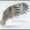 Barred Owl Peeking through Wing Feathers