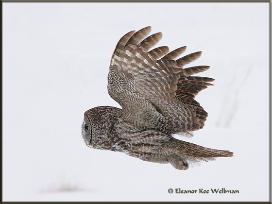 Great Gray Owl Flying Back<br /> 16004